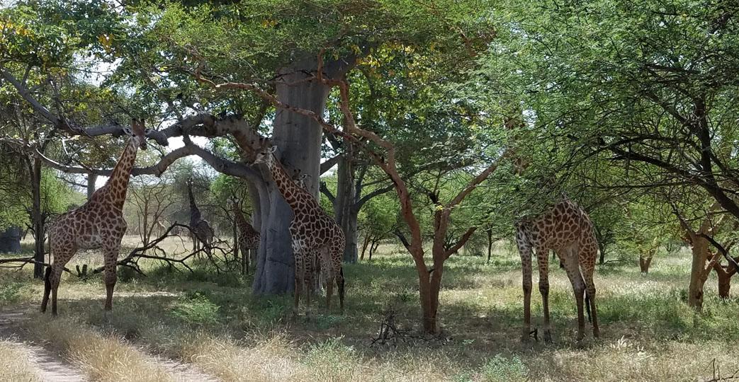 Photo Safari at Bandia Reserve in Senegal