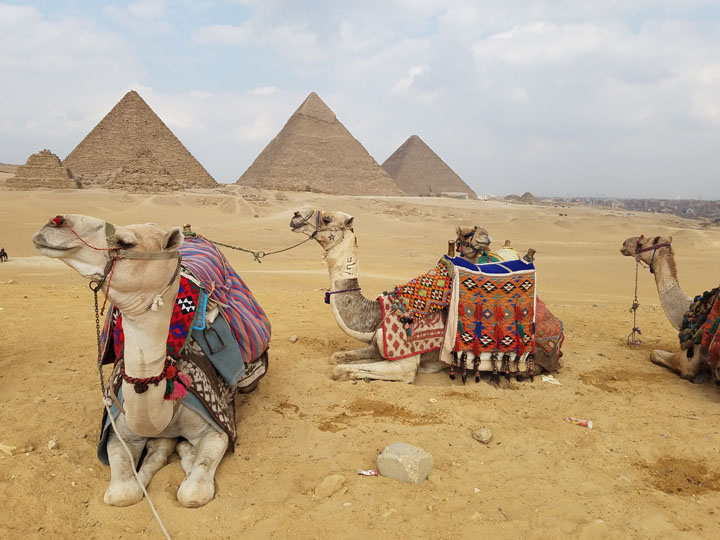Camels rest with the pyramids behind them. Copyright 2017 by Jewel, all rights reserved.