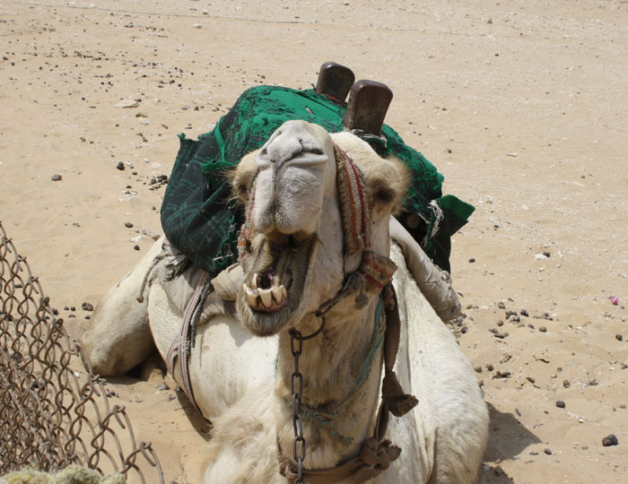 Camels I Have Met