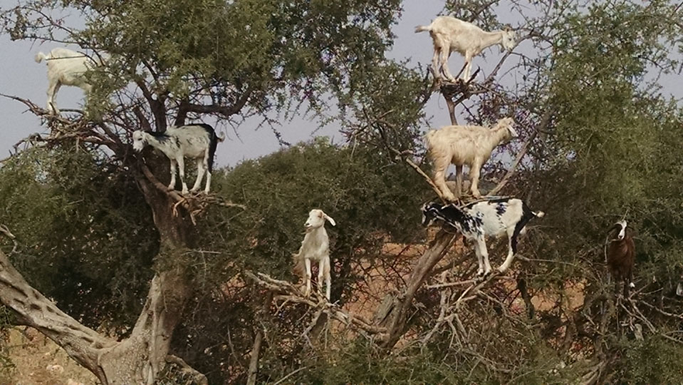 Goats in Trees: A Tale of Argan Oil in Morocco